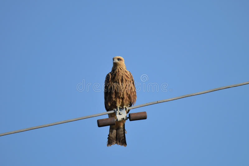 A hawk looks for prey stock images