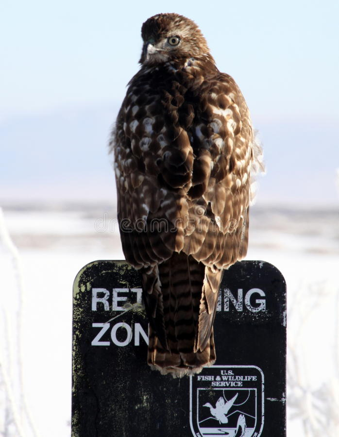 Hawk on a Sign