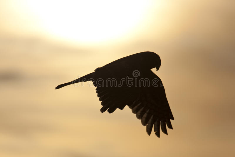 Hawk silhouette royalty free stock images