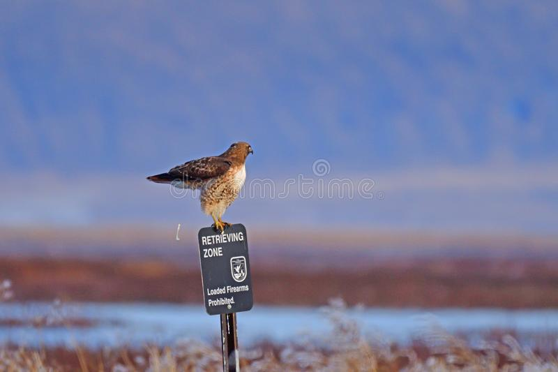 A Hawk sitting and defecting from a pole. A Hawk sitting on a pole and defecting with tail up stock image