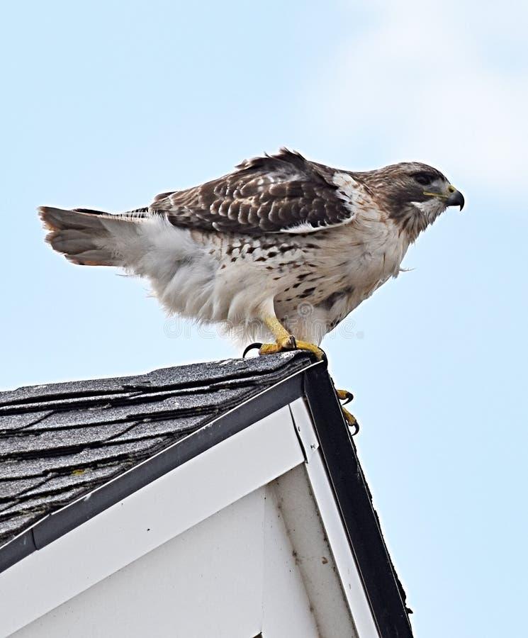 Hawk Sitting en la esquina del tejado del granero imagenes de archivo