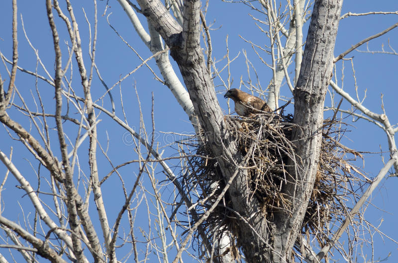 Hawk Sitting On Its Nest Rouge-coupé la queue images libres de droits