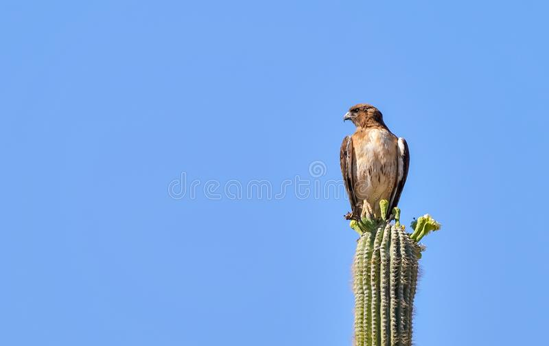 Hawk Sitting munito rosso su un cactus del saguaro immagine stock libera da diritti