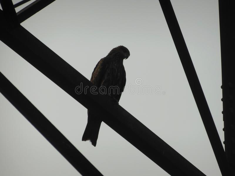 Indian spotted eagle clanga sitting on a steel pillar structure beam of high tension power line royalty free stock images