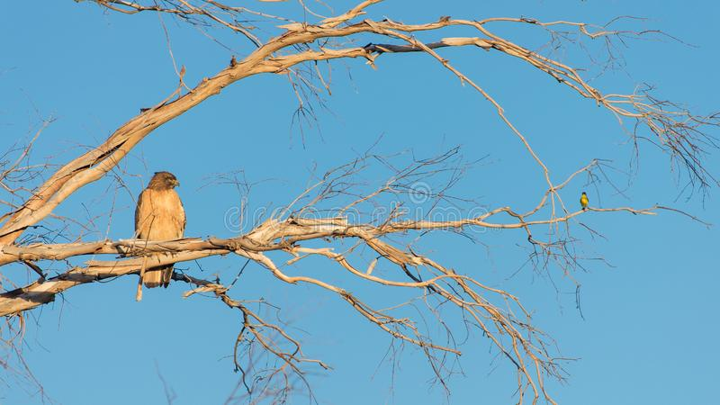 A hawk and small bird sitting on a tree branch stock images
