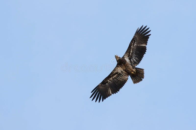 Hawk Soaring Royalty Free Stock Photos