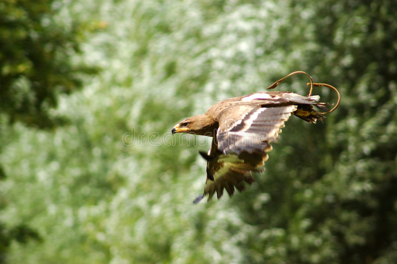 hawk sokoła zdjęcie stock