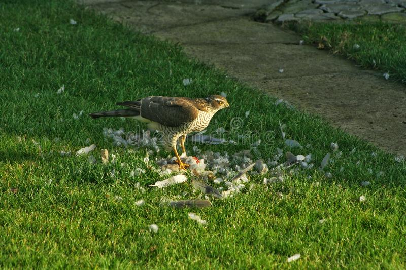 Hawk stands on the grass and eats the hunted prey. The hawk eats another bird. The hawk stands on the grass and eats the hunted prey. The hawk eats another bird royalty free stock image