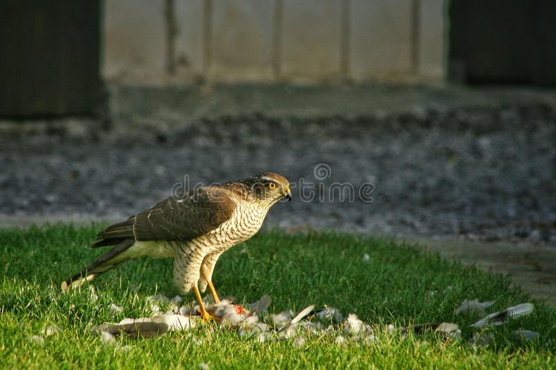 Hawk stands on the grass and eats the hunted prey. The hawk eats another bird. The hawk stands on the grass and eats the hunted prey. The hawk eats another bird stock image