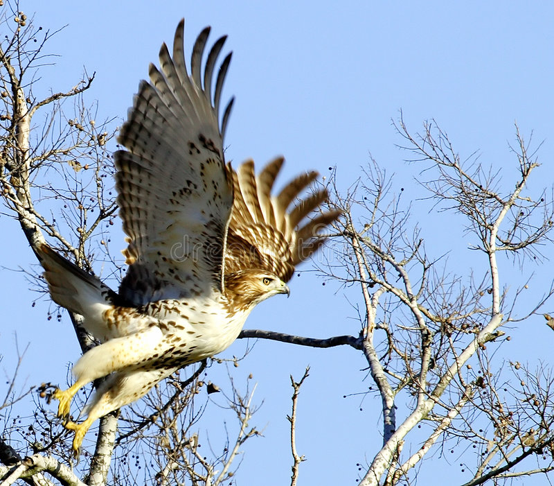 Hawk Taking Flight. Red-tailed hawk lifting off. Shot at San Jacinto Monumnet Park, near Houston, Texas