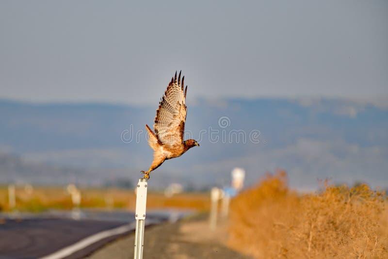 Hawk Taking fora de um polo, no mais baixo lago fotos de stock