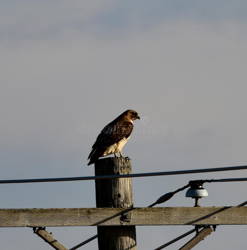 Hawk on a Telephone Pole stock images