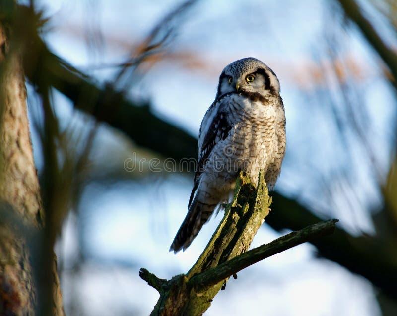 Hawk-uil in een boom aan de westkust van Zweden stock fotografie