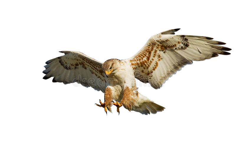 Hawk On White Stock Photo