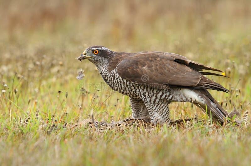 Hawk with wild pheasant royalty free stock photos