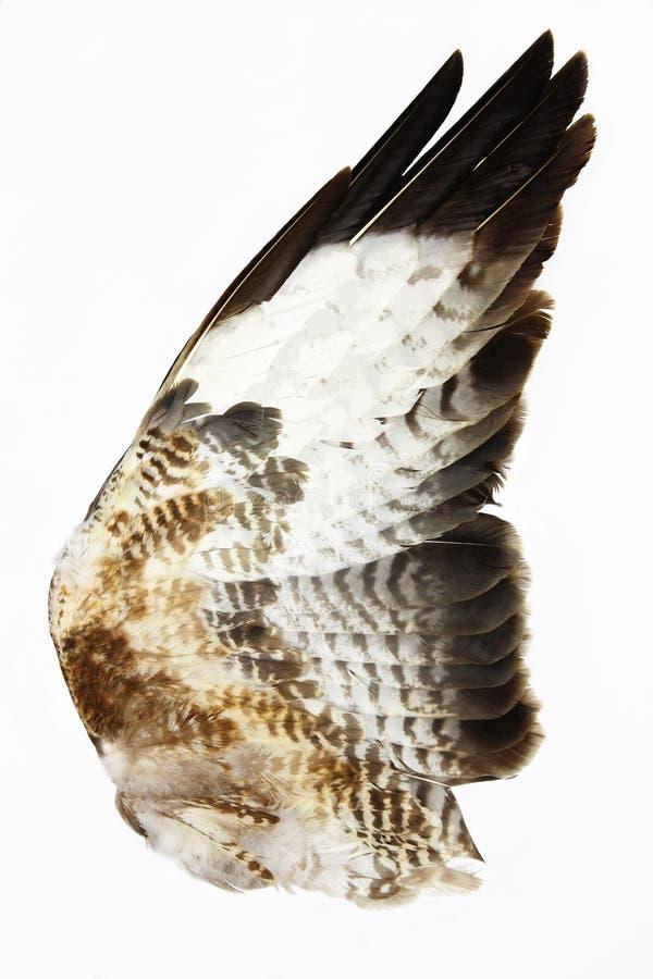 Hawk Wing royalty free stock image