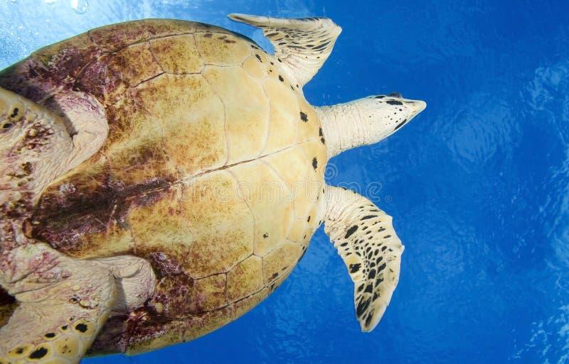 HAWKBILL DENNEGO żółwia /eretmochelys imbricata zdjęcie royalty free