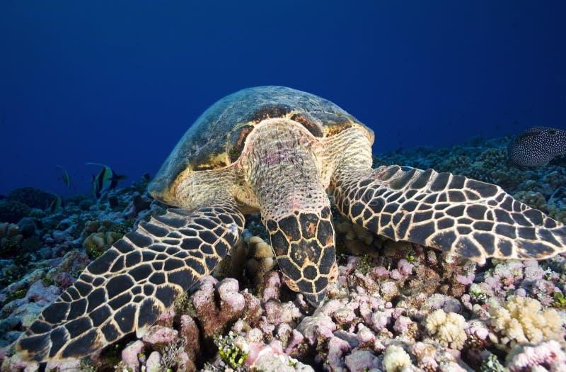 HAWKBILL DENNEGO żółwia /eretmochelys imbricata zdjęcia stock