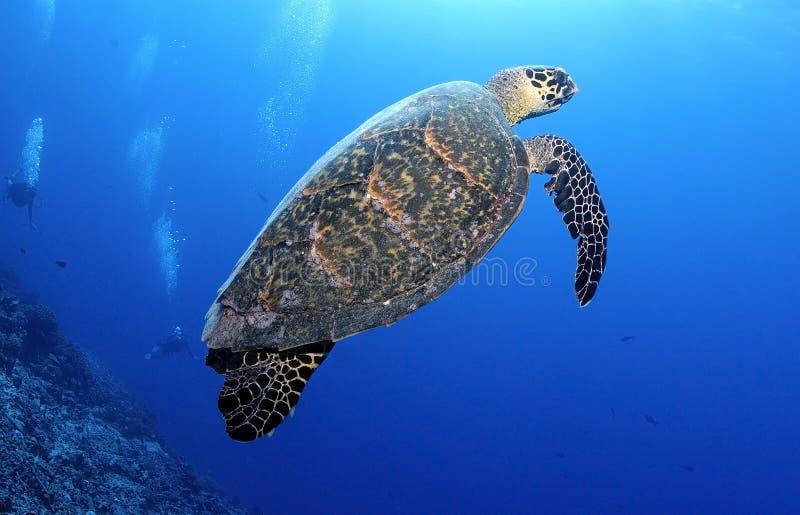 HAWKBILL TURTLE/erethmochelys DENNY imricata zdjęcie stock