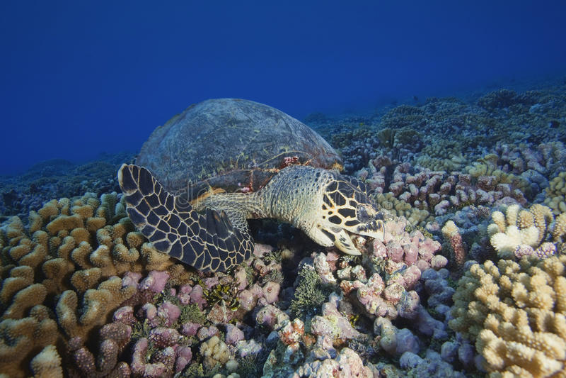 HAWKBILL TURTLE/eretmochelys DENNY imbricata obraz stock