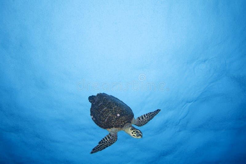 HAWKBILL TURTLE/eretmochelys DENNY imbricata fotografia royalty free