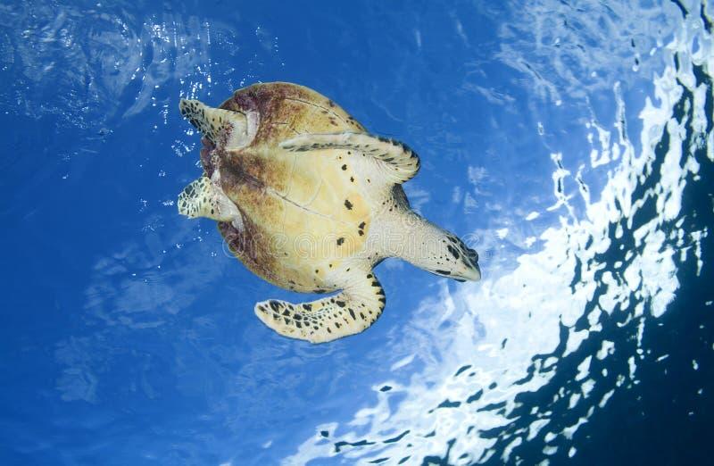 HAWKBILLL DENNEGO żółwia /eretmochelys imbricata zdjęcia stock