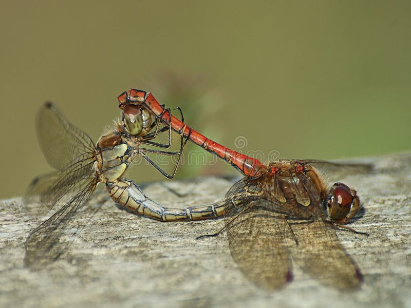 Hawker Dragonflies mating royalty free stock image