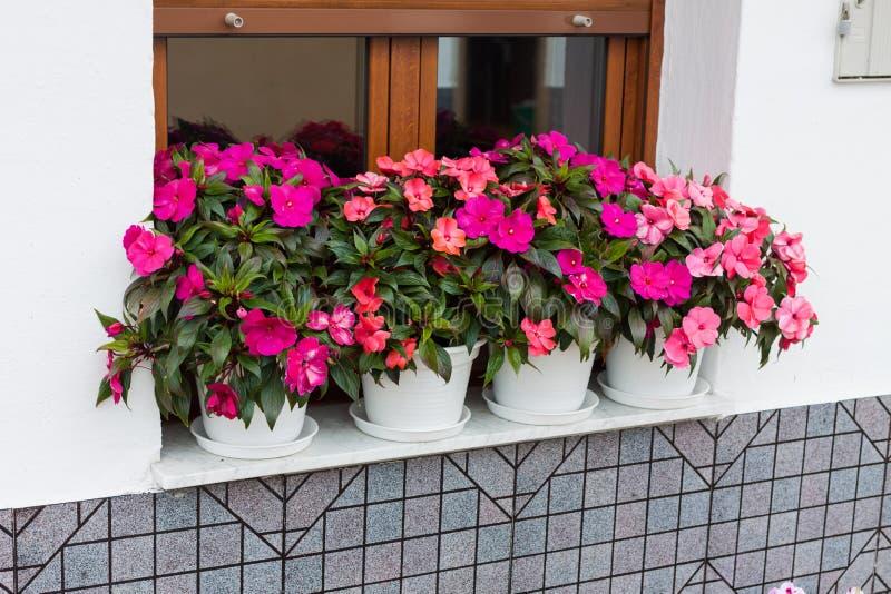Hawkeri rose lumineux d'impatiens, les impatiens de la Nouvelle-Guinée, dans des pots de fleur photo libre de droits