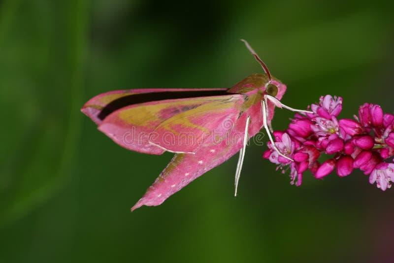 Hawkmoth cor-de-rosa fotografia de stock