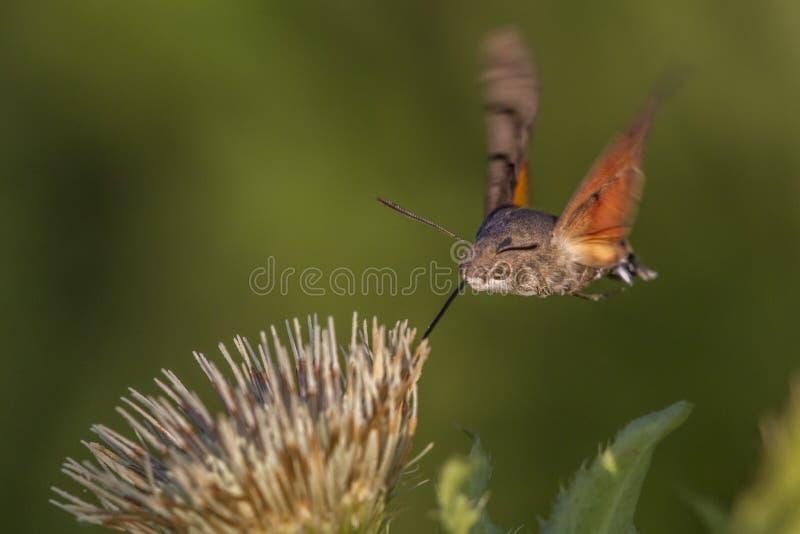 Hawkmoth do colibri (stellatarum de Macroglossum) foto de stock
