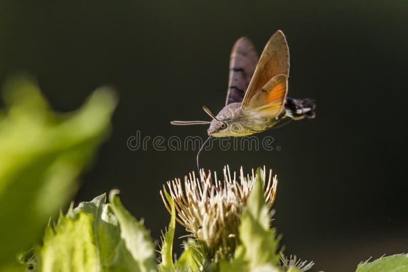 Hawkmoth do colibri (stellatarum de Macroglossum) fotos de stock royalty free