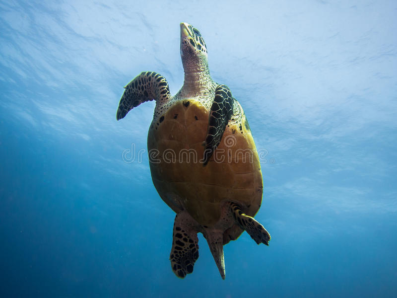 Hawksbill游泳在水面下从在下的海龟 免版税库存图片