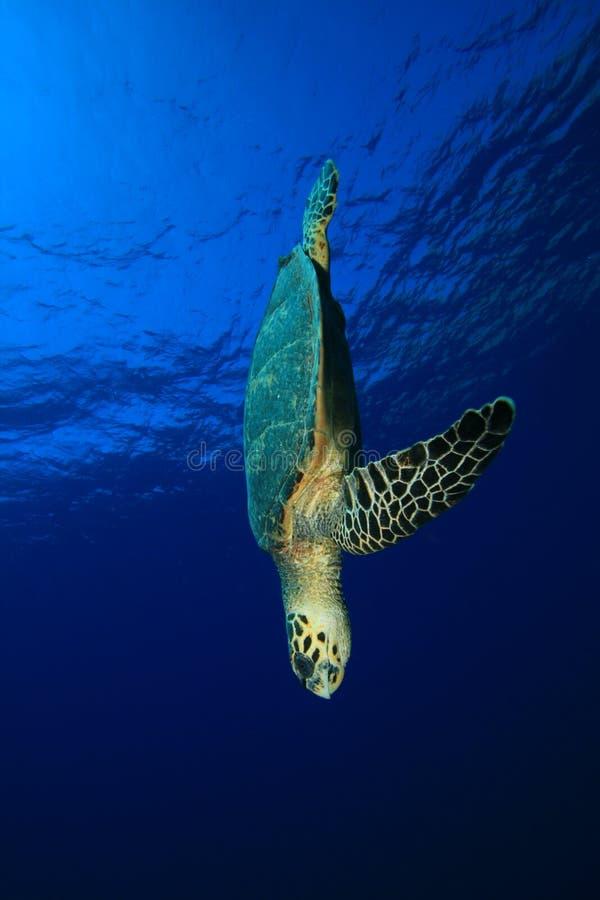 hawksbill żółw obrazy stock