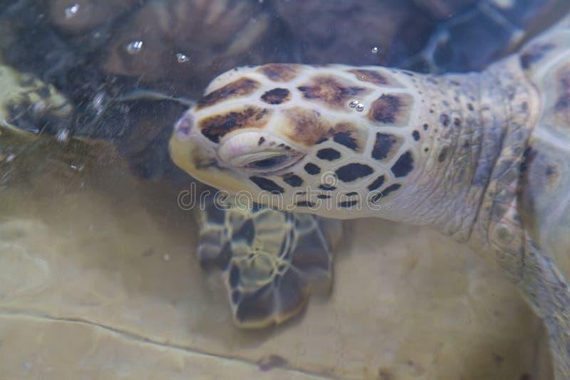 Hawksbill żółw & x28; Eretmochelys imbricata zdjęcie royalty free