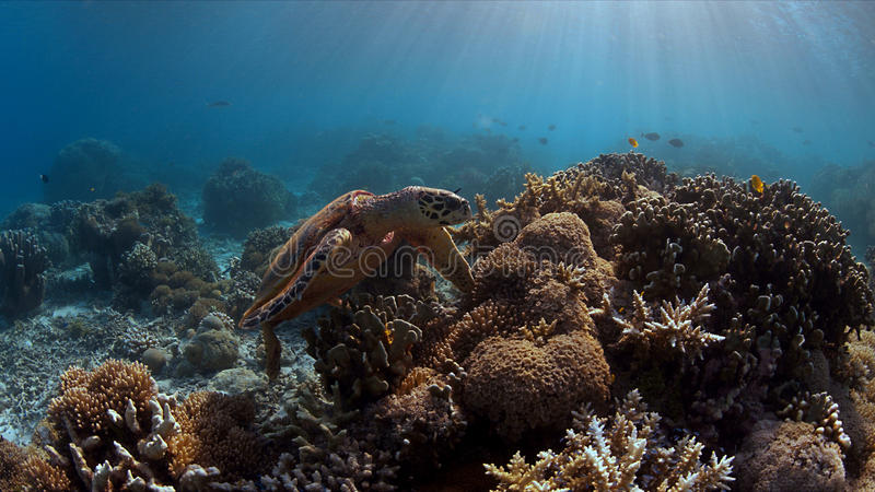 Hawksbill żółw na rafie koralowa obrazy royalty free