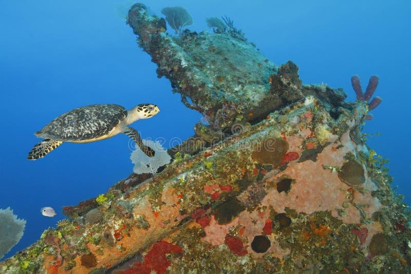Hawksbill żółw pływa nad koralem zaskorupiał się shipwreck fotografia stock