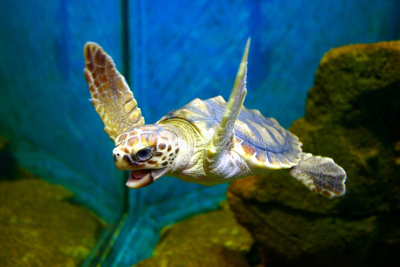 hawksbill żółwia obrazy stock