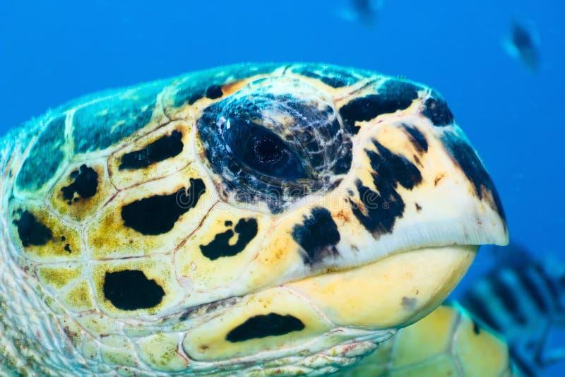 Hawksbill żółwia portret fotografia stock