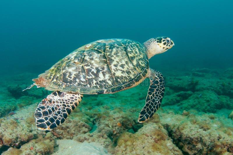 hawksbill χελώνα θάλασσας στοκ εικόνα
