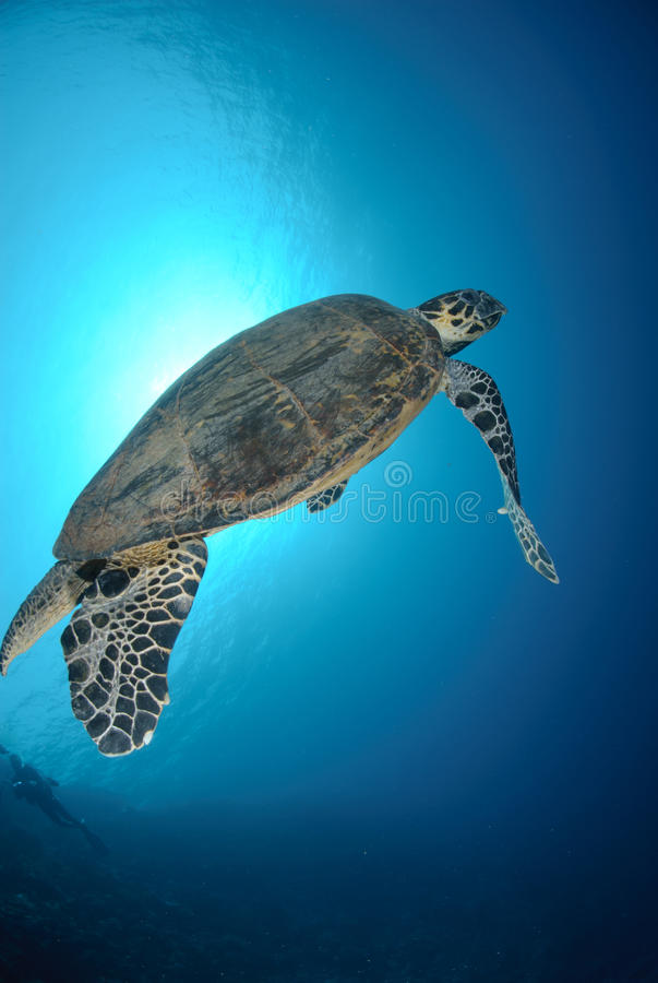 hawksbill χελώνα θάλασσας στοκ εικόνες