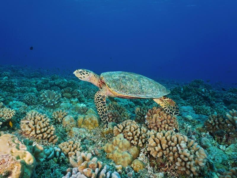 Hawksbill dennego żółwia Eretmochelys imbricata zdjęcie royalty free