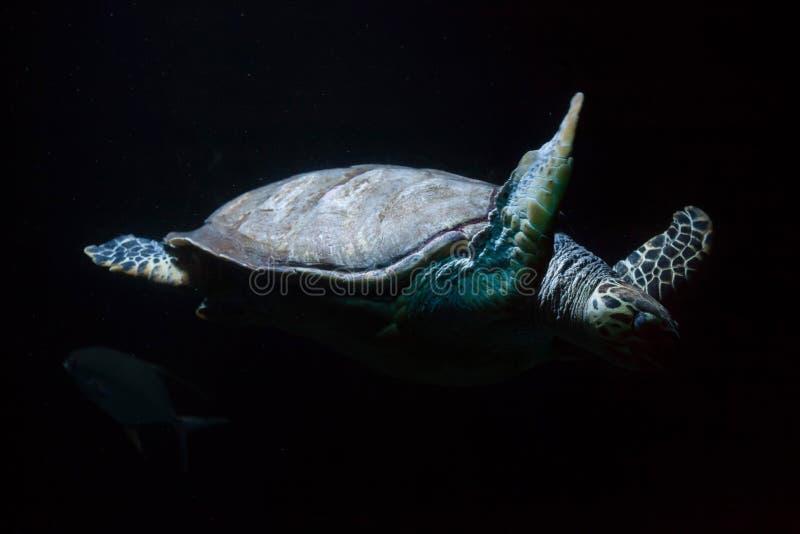 Hawksbill dennego żółwia Eretmochelys imbricata obrazy stock