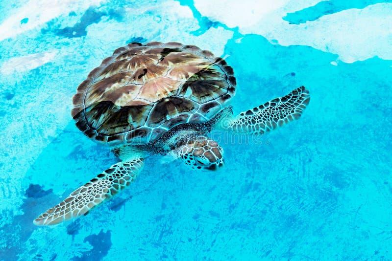 Hawksbill dennego żółwia Eretmochelys imbricata jest krytycznie endang fotografia stock
