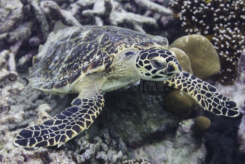 Hawksbill denny żółw (Eretmochelys imbricata) zdjęcia royalty free