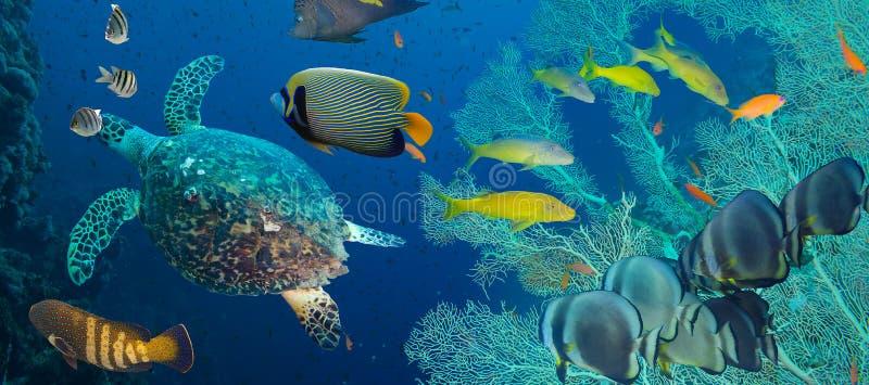 Hawksbill havssköldpadda (Eretmochelysimbricataen) royaltyfria bilder