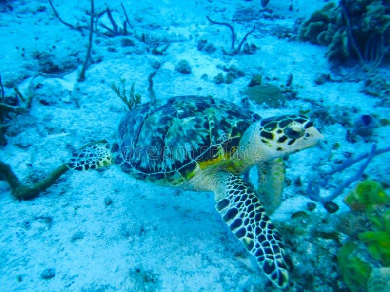 Hawksbill havssköldpadda på havsgolvet royaltyfria bilder