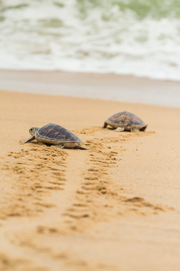 Hawksbill havssköldpadda på stranden royaltyfri fotografi