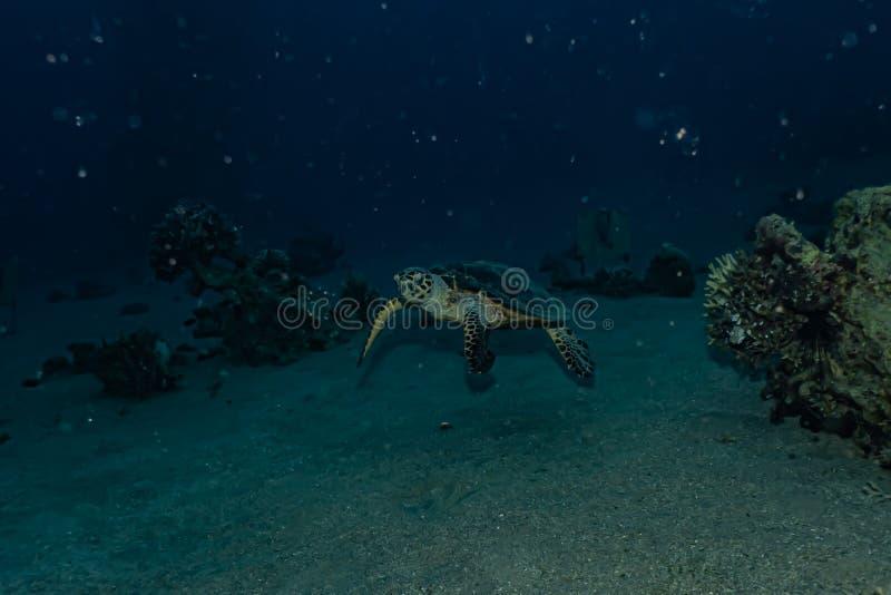 Hawksbill havssk?ldpadda i R?da havet royaltyfri foto