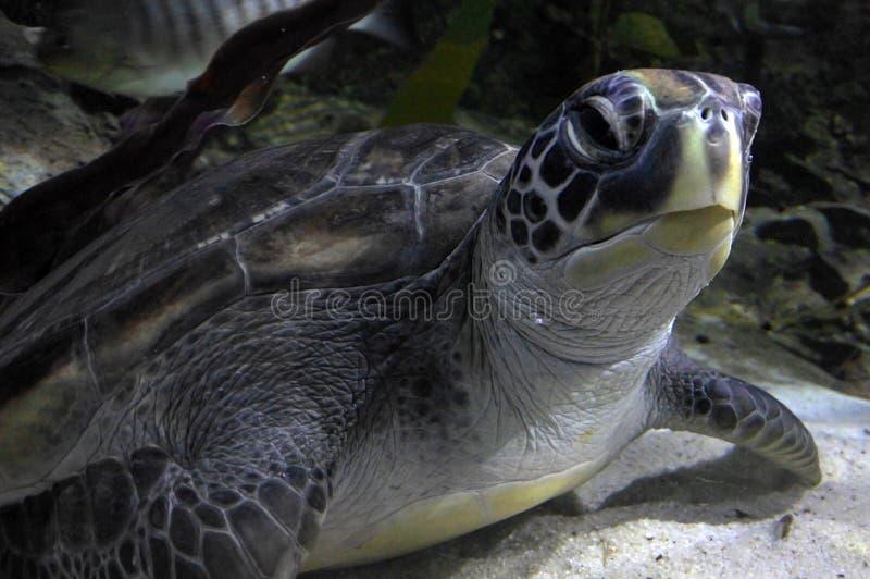 Hawksbill Mariene zeeschildpad royalty-vrije stock afbeelding