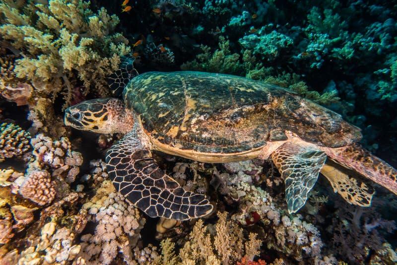 Hawksbill-Meeresschildkröte im Roten Meer, dahab, blaue Lagune Sinai stockfoto